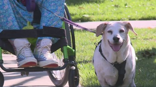 Therapy Dog For Woman In Wheelchair Now Needs Wheelchair Of His Own