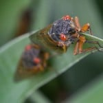 Yes, Cicadas Are Edible. They Can Adorn Cookies, Be Deep Fried And More
