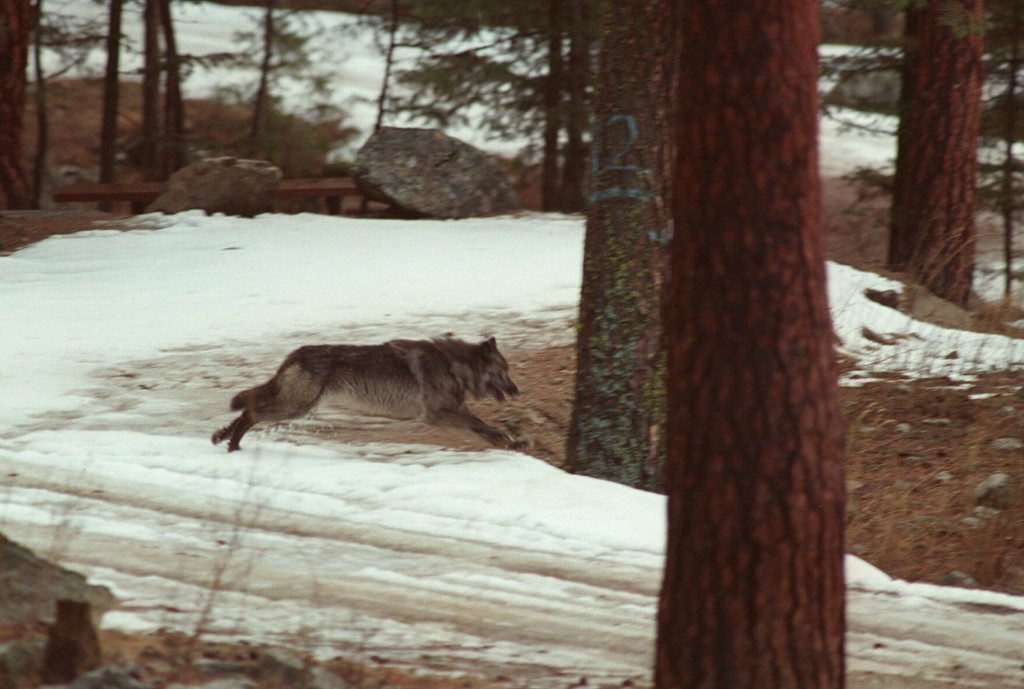 Bill To Kill Up To 90% Of Idaho Wolves Signed By Governor