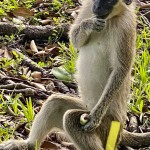 Monkey Business: Researchers Find Origins Of Florida Colony