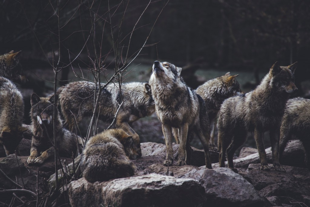 Breeding Female Wolf Illegally Shot And Killed In Stevens County