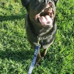 Animal Shelter Spotlight: Eclipse the Lab mix needs a loving home