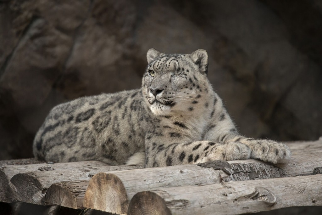 Unvaccinated Snow Leopard At San Diego Zoo Catches Covid 19
