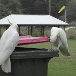 Bin There, Done That: Cockatoos Learn To Lift Trash Lids