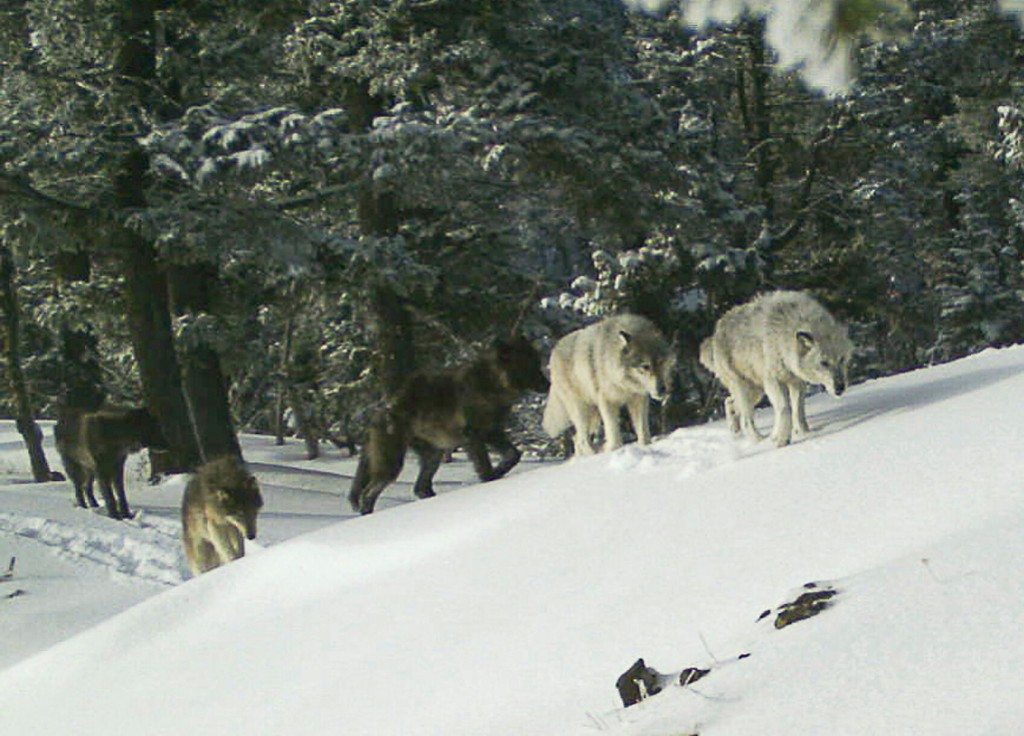Us: Wolves May Need Protections After States Expand Hunting